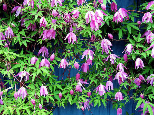 Photograph - Clematis by Gerry Bates