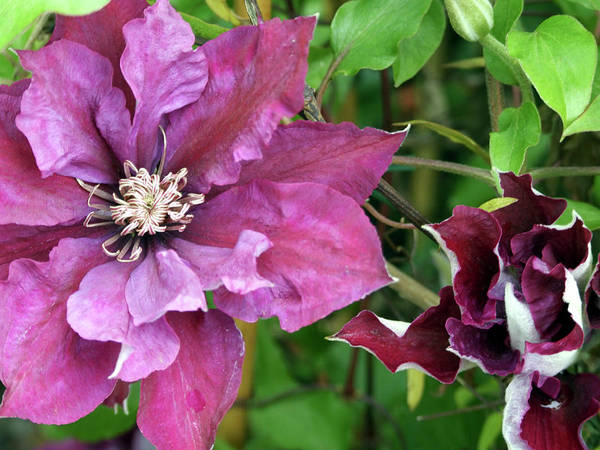 Climbing Vine Photograph - Clematis 'picardy' by Ian Gowland/science Photo Library