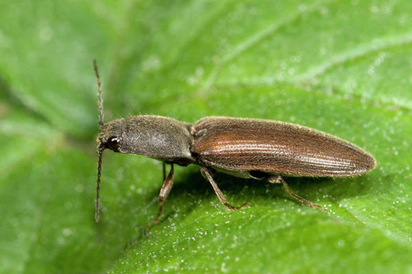 Entomological Photograph - Click Beetle by Nigel Downer