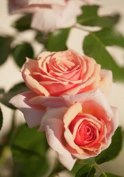 Wall Art - Photograph - Climbing Rose (rosa 'aloha Hawaii') by Maria Mosolova/science Photo Library