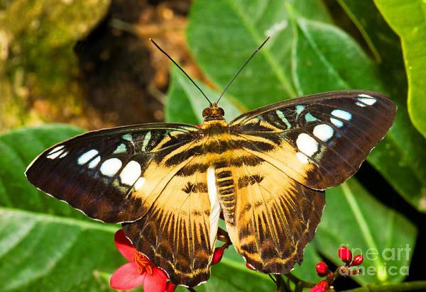 Pterygota Wall Art - Photograph - Clipper Butterfly by Millard H. Sharp