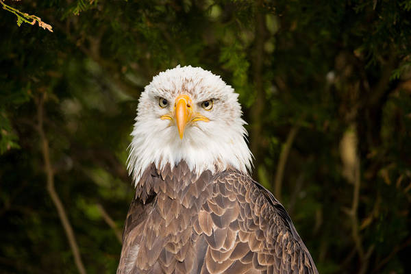 Haliaeetus Leucocephalus Photograph - Close-up Of A Bald Eagle Haliaeetus by Panoramic Images
