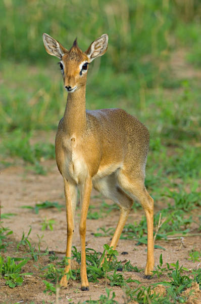 Tarangire Photograph - Close-up Of A Kirks Dik-dik, Tarangire by Panoramic Images