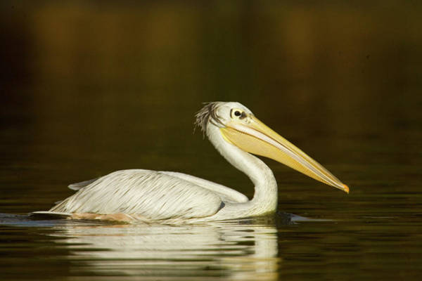 Back In The Day Photograph - Close-up Of A Pink-backed Pelican by Animal Images