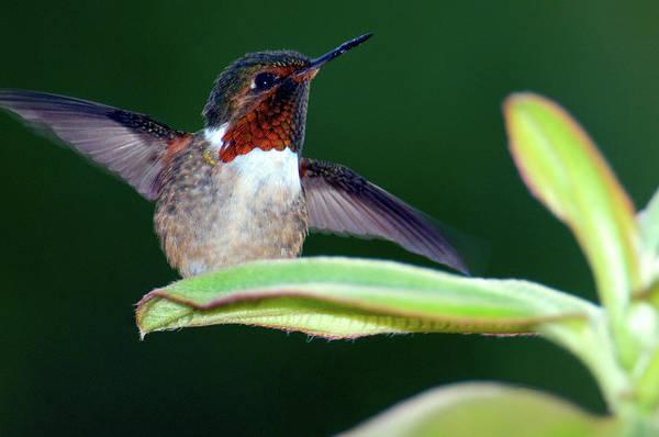 Selasphorus Photograph - Close-up Of A Scintillant Hummingbird by Animal Images