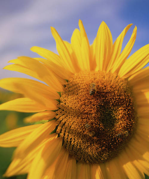 Bee On Flower Wall Art - Photograph - Close-up Of A Sunflower Helianthus by Animal Images