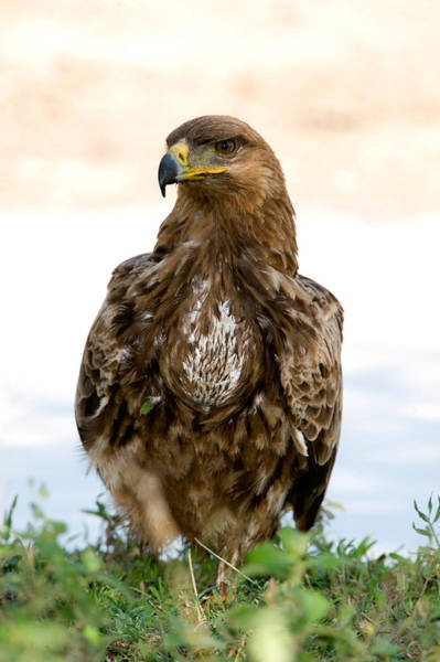 Wall Art - Photograph - Close-up Of A Tawny Eagle Aquila Rapax by Panoramic Images