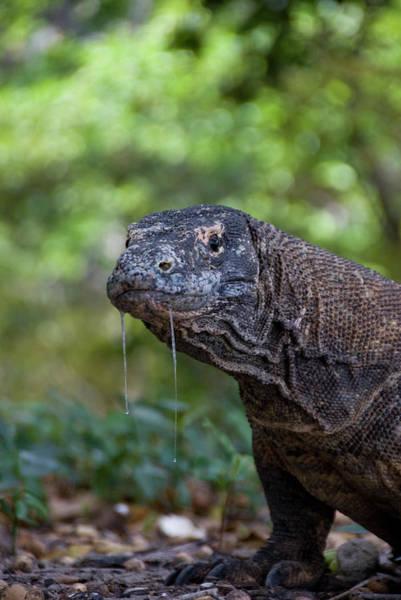 Theme Park Photograph - Close-up Of Komodo Dragon, Komodo by Jaynes Gallery