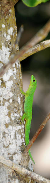 Wall Art - Photograph - Close-up Of Seychelles Small Day Gecko by Animal Images