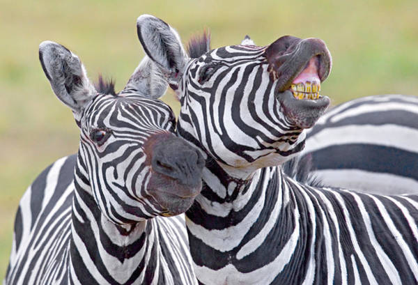 Herbivorous Photograph - Close-up Of Two Zebras, Ngorongoro by Panoramic Images