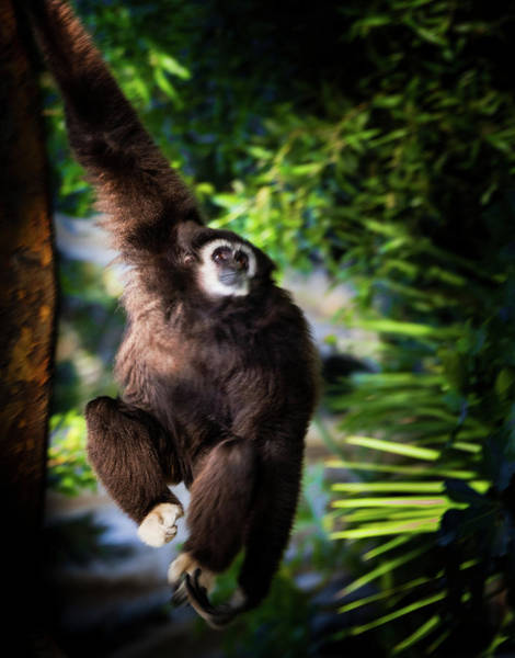 Wall Art - Photograph - Close-up Of White-handed Gibbon by Animal Images