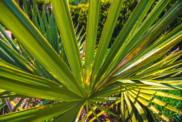Photograph - Close Up Photo Of Green Palm Tree Leaf by Alex Grichenko