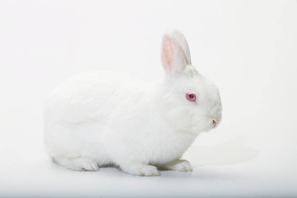 Wall Art - Photograph - Close Up Portrait Of A White Domestic by Rebecca Hale