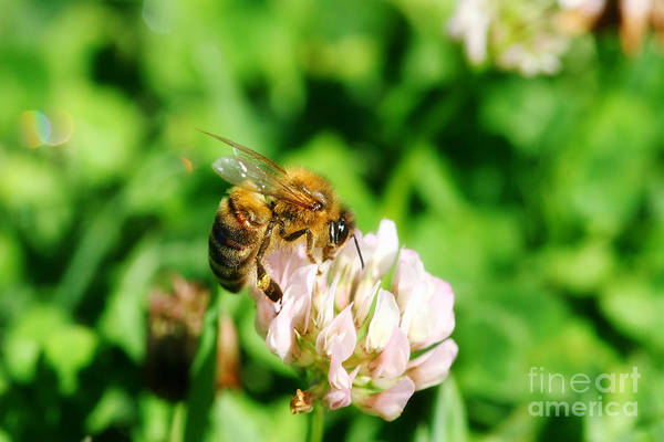 Pollination Photograph - Clover Bee by Jorgo Photography - Wall Art Gallery