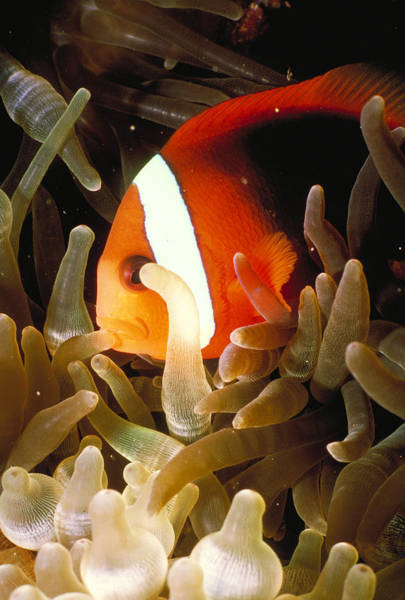 Wall Art - Photograph - Clownfish by Nancy Sefton