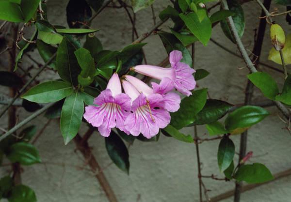 Climbing Vine Photograph - Clytostoma Callistegioides by Science Photo Library