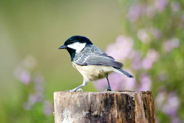 Tit Photograph - Coal Tit (parus Ater) by John Devries/science Photo Library