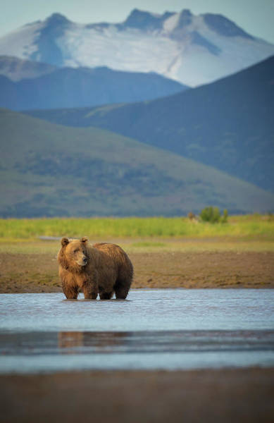 Grizzly Bears Photograph - Coastal Brown Bear by Chase Dekker Wild-life Images