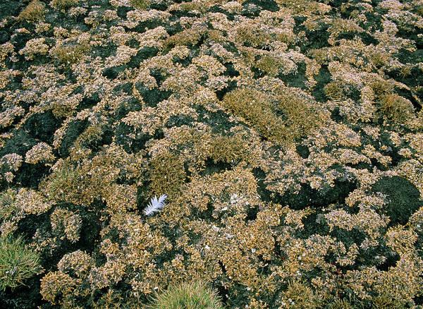 Tundra Wall Art - Photograph - Coastal Tundra Vegetation by Simon Fraser/science Photo Library