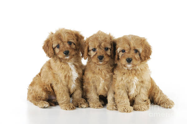 Cock Photograph - Cockapoo Puppy Dogs by John Daniels