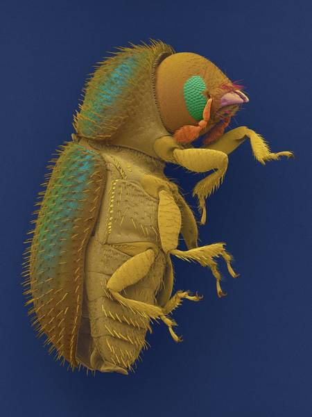 Pests Photograph - Coffee Berry Borer by Dennis Kunkel Microscopy/science Photo Library