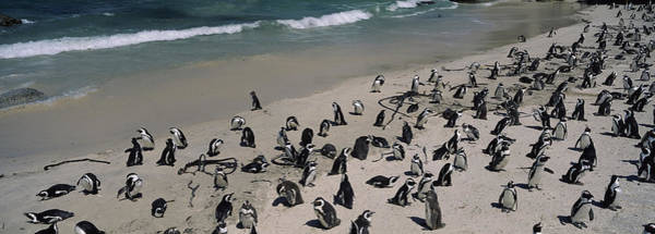 Sea Of Serenity Photograph - Colony Of Jackass Penguins Spheniscus by Panoramic Images