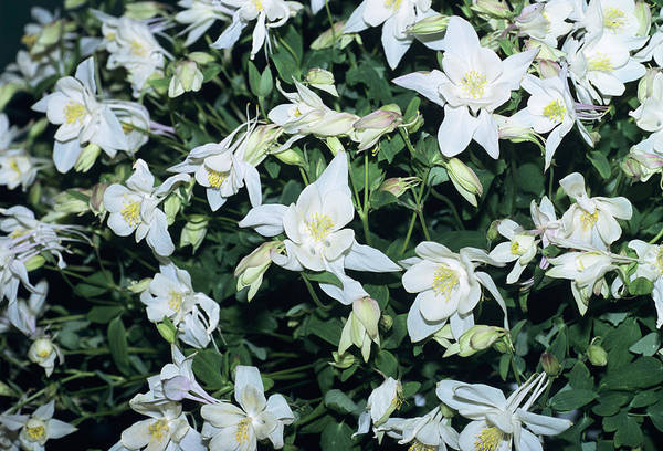 Wall Art - Photograph - Columbine by Adrian Thomas/science Photo Library