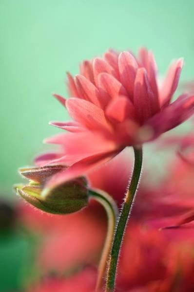 Aquilegia Photograph - Columbine 'clementine Rose' by Maria Mosolova