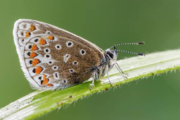 Imago Photograph - Common Blue Butterfly by Heath Mcdonald