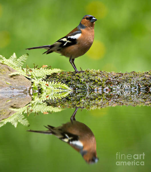 Wall Art - Photograph - Common Chaffinch by Louise Heusinkveld