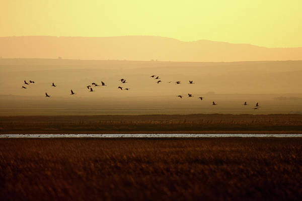 Urban Wildlife Photograph - Common Cranes At Gallocanta Lagoon by David Santiago Garcia