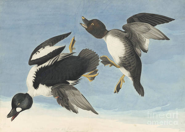Drawing - Common Goldeneye by Celestial Images