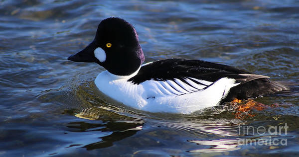 Photograph - Common Goldeneye by Sue Harper