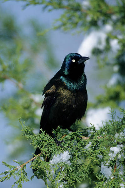 Icterid Photograph - Common Grackle (quiscalus Quiscula by Richard and Susan Day