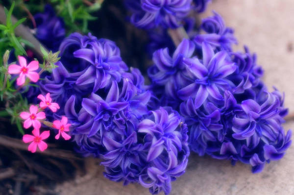 Floristry Photograph - Common Hyacinth (hyacinthus Orientalis) by Maria Mosolova/science Photo Library