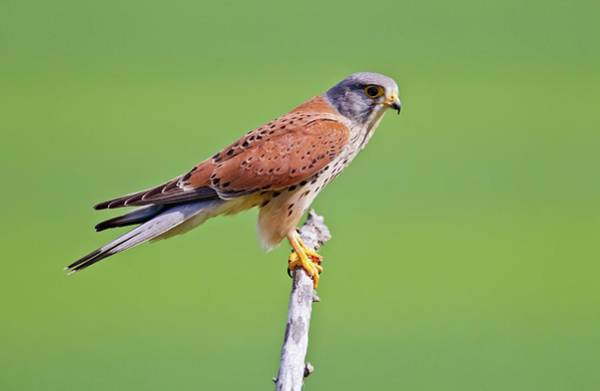 Wall Art - Photograph - Common Kestrel On A Branch by John Devries/science Photo Library