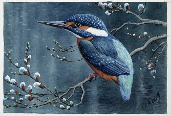 Alcedo Photograph - Common Kingfisher by Natural History Museum, London/science Photo Library