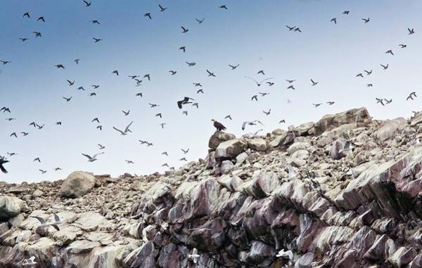 Alcidae Photograph - Common Murres by Bob Gibbons/science Photo Library