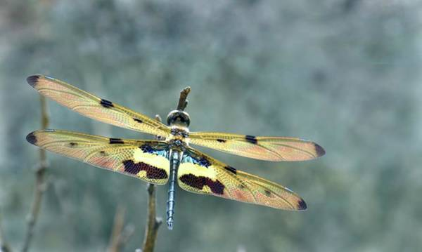 Odonata Photograph - Common Picture Wing Dragonfly by K Jayaram