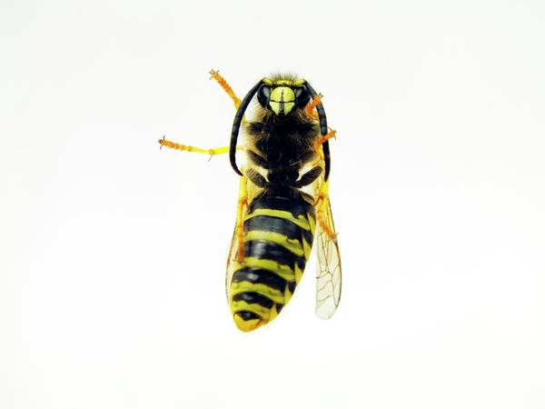 Wasp Photograph - Common Wasp by Ian Gowland