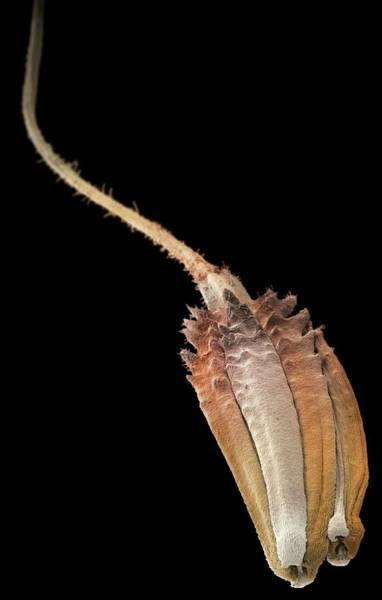 Taraxacum Photograph - Composite Flower Seed by Martin Oeggerli/science Photo Library