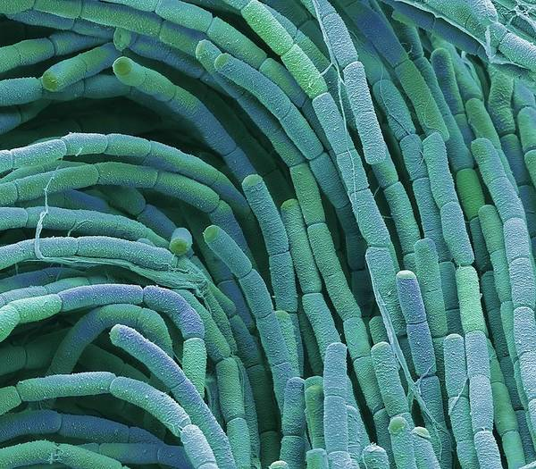 Wall Art - Photograph - Compost Bacteria by Steve Gschmeissner/science Photo Library