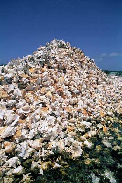 Gastropod Wall Art - Photograph - Conch Shells by Mauro Fermariello/science Photo Library