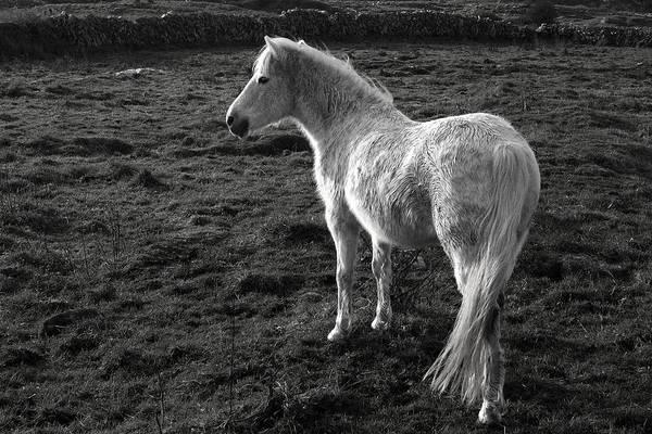 Photograph - Connemara Pony Ireland by Pierre Leclerc Photography