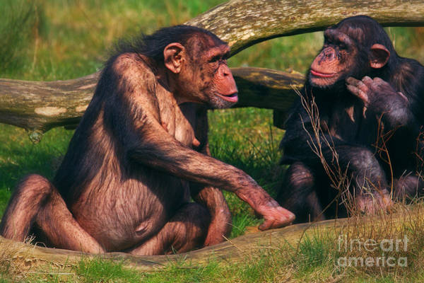 Photograph - Conversation Between Two Chimpanzees by Nick  Biemans