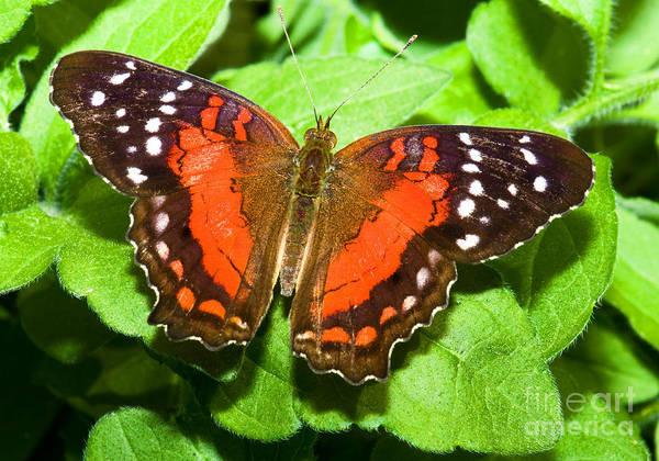 Coolie Photograph - Coolie Butterfly by Millard H. Sharp