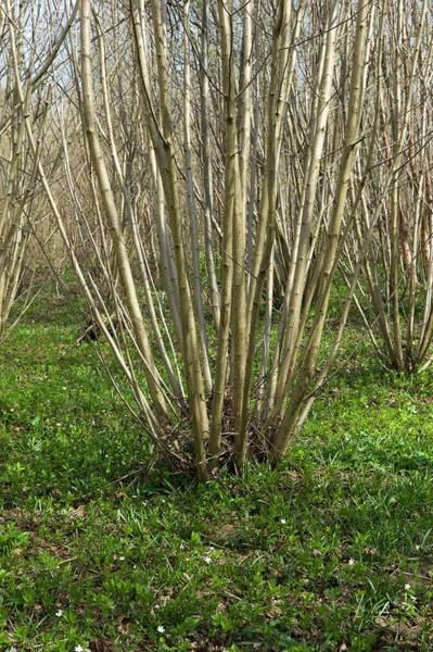 Coppice Photograph - Coppiced Hazel by Dr Jeremy Burgess