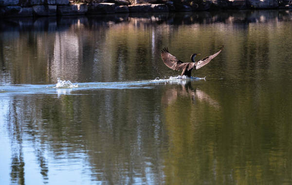 Cormorant Landing Art Print