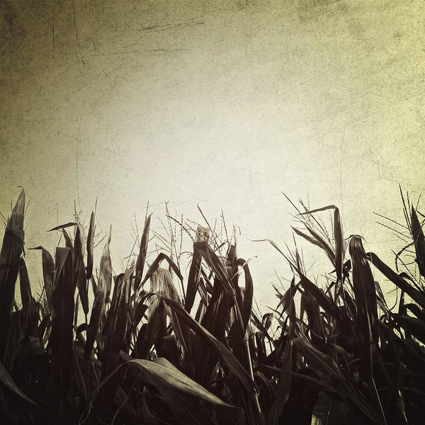 Photograph - Corn by Natasha Marco