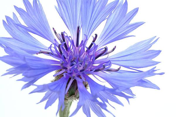 Cornflowers Photograph - Cornflower (centaurea Cyanus) by Bildagentur-online/th Foto/science Photo Library